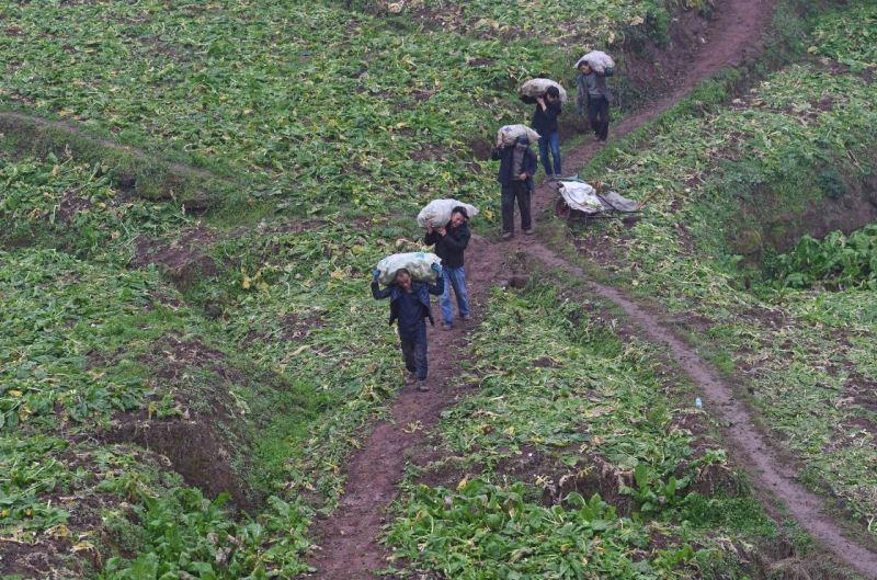 小菜头大产业 助推村民增收