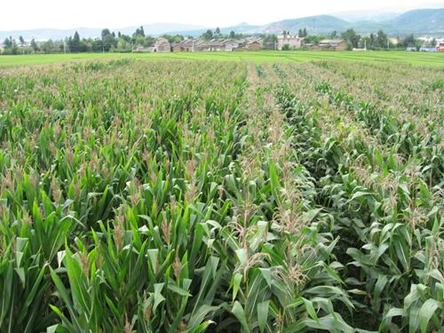 玉米收储制度改革见成效 种植面积调减三千万亩