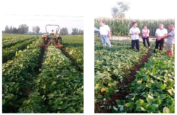 安阳大力推进红薯生产全程机械化技术